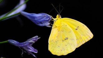 gele vlinder op blauwe bloem