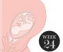 24 weken zwanger