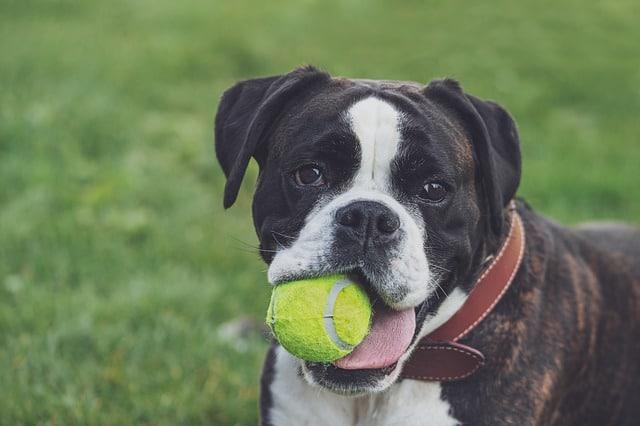 boxer met tennisbal