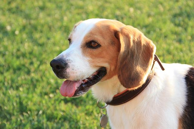 Beagle in het gras